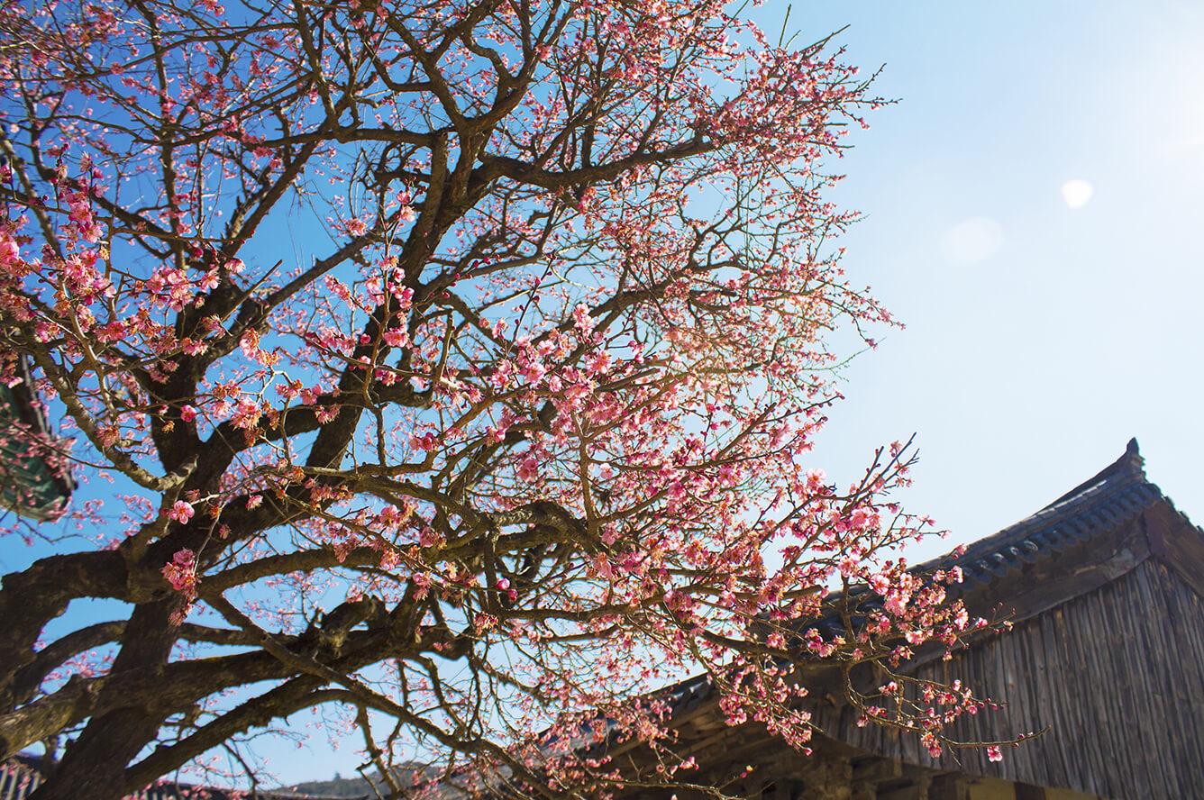 Hoa đào: Vẻ đẹp e ấp, nhẹ nhàng