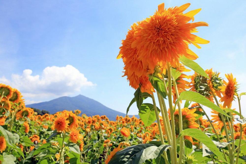 Lễ hội hoa hướng dương Akeno