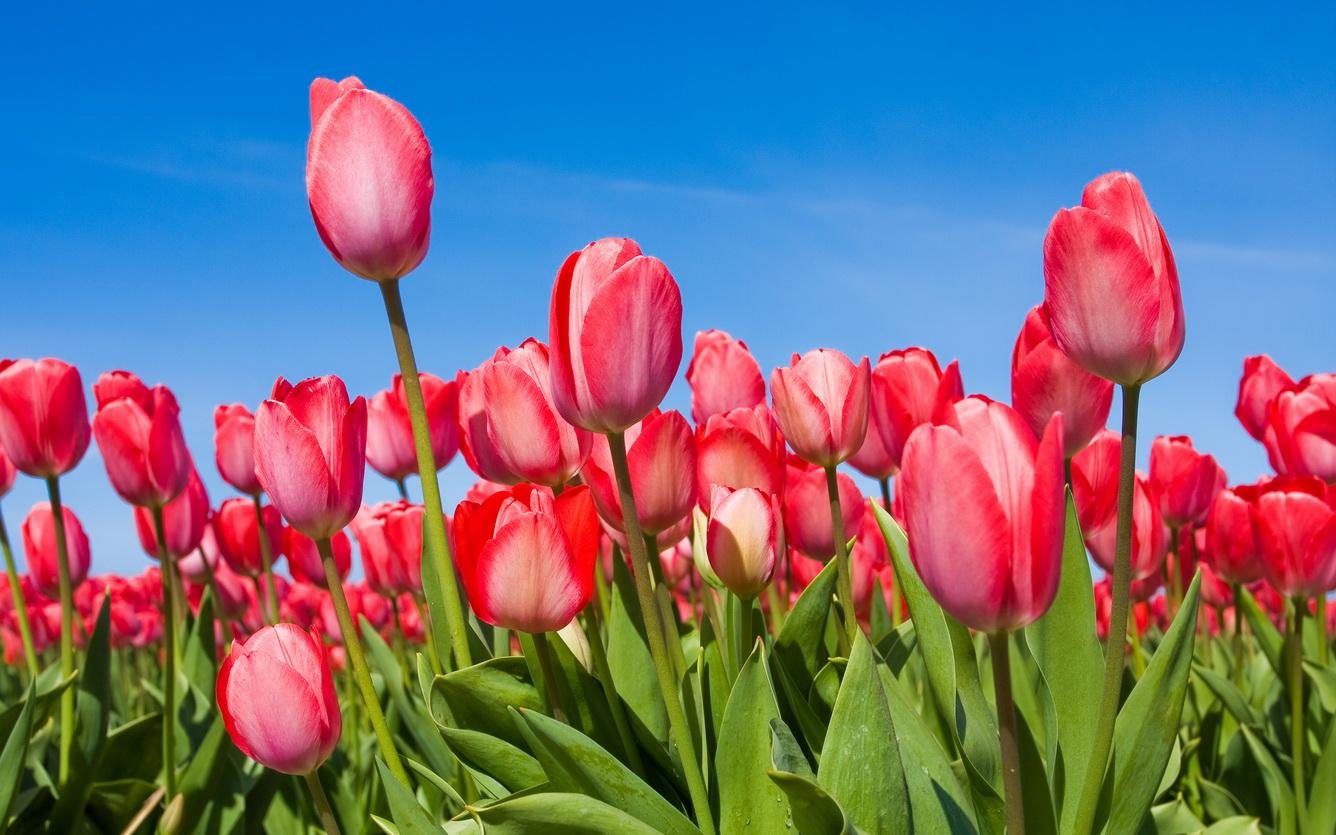 Rộn ràng đón lễ hội hoa xuân Châu Âu