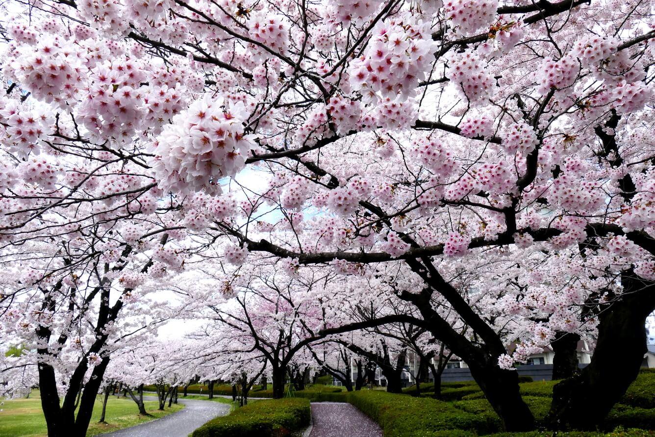 Rộn ràng du Xuân trên xứ Phù Tang