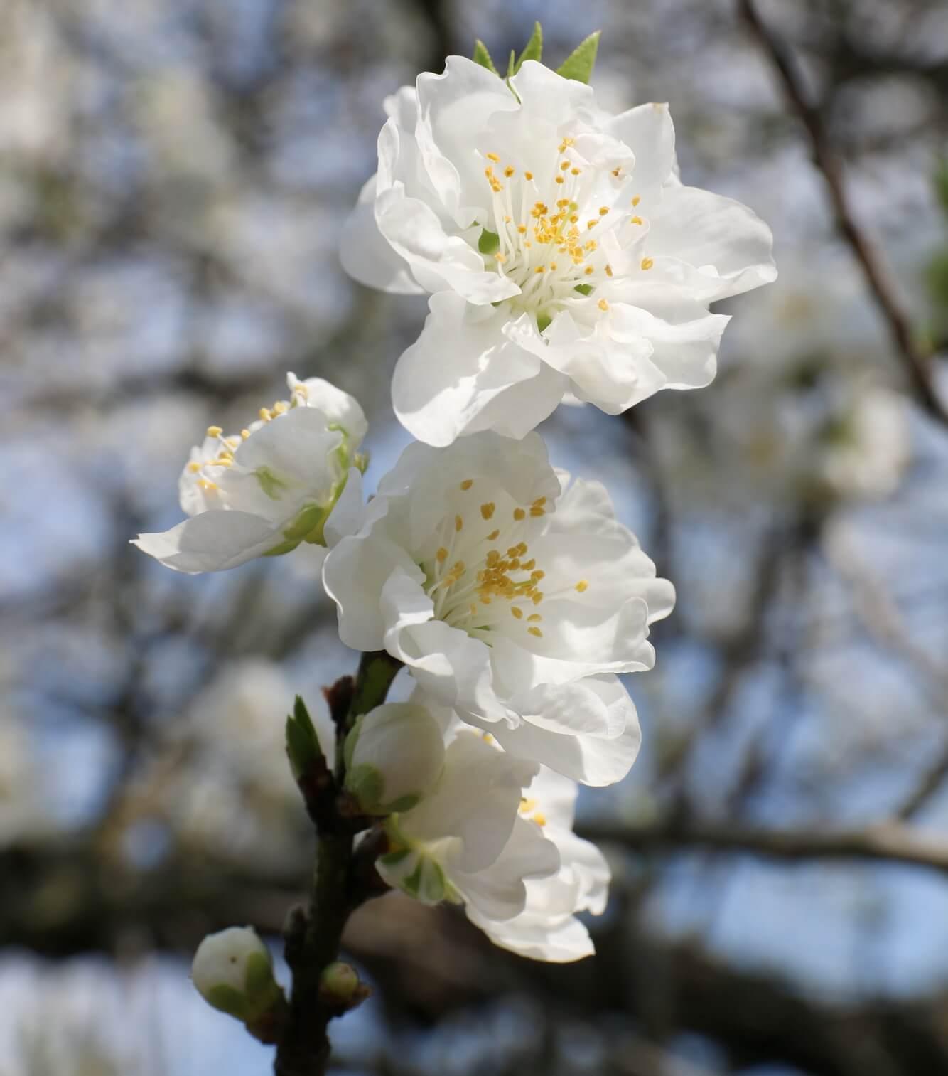2. Thế giới màu hồng ở Hanamomo no Sato! Lễ hội Kogamomo lần 43