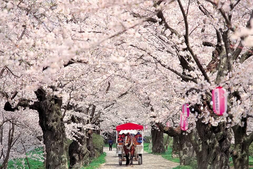 Một vòng ở xứ sở tuyết và hoa anh đào tại Tohoku