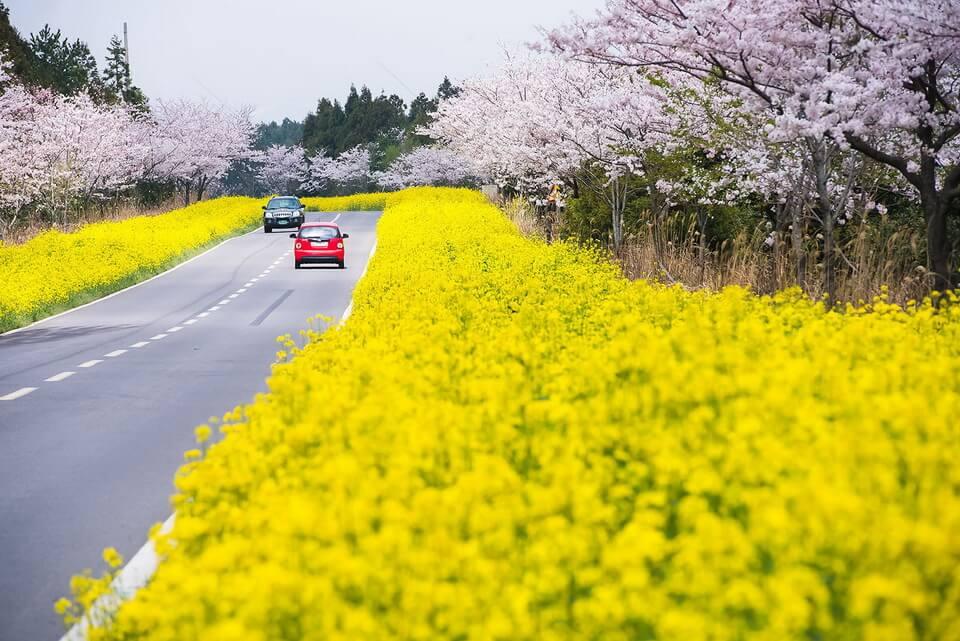 Đẹp 'hết nấc' 5 cánh đồng cải vàng phải ghé ở xứ Hàn