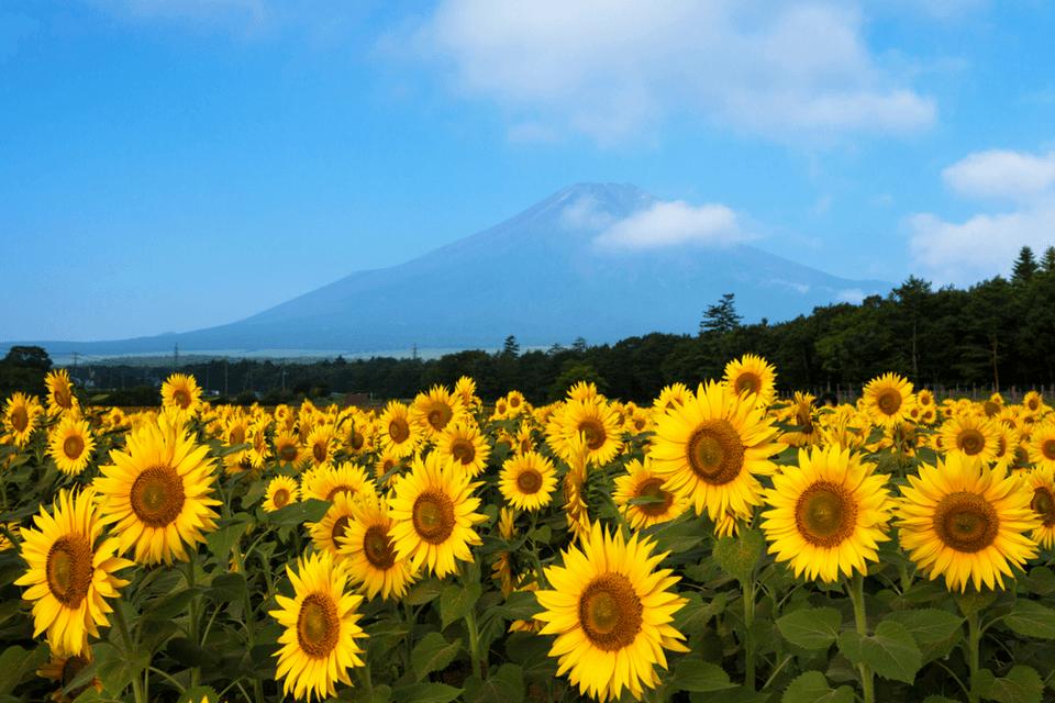 Charter Nhật Bản: Rực rỡ hành trình hoa mặt trời