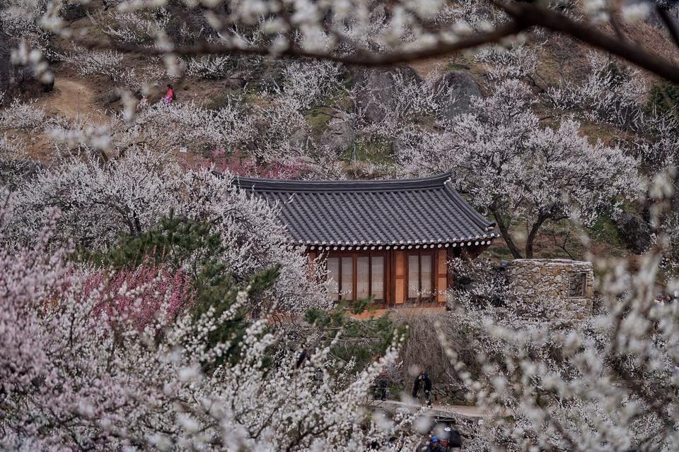 Không kém cạnh Hoa Anh Đào, Mùa Hoa Mơ Nhật Bản cũng đẹp rực rỡ thế này đây!