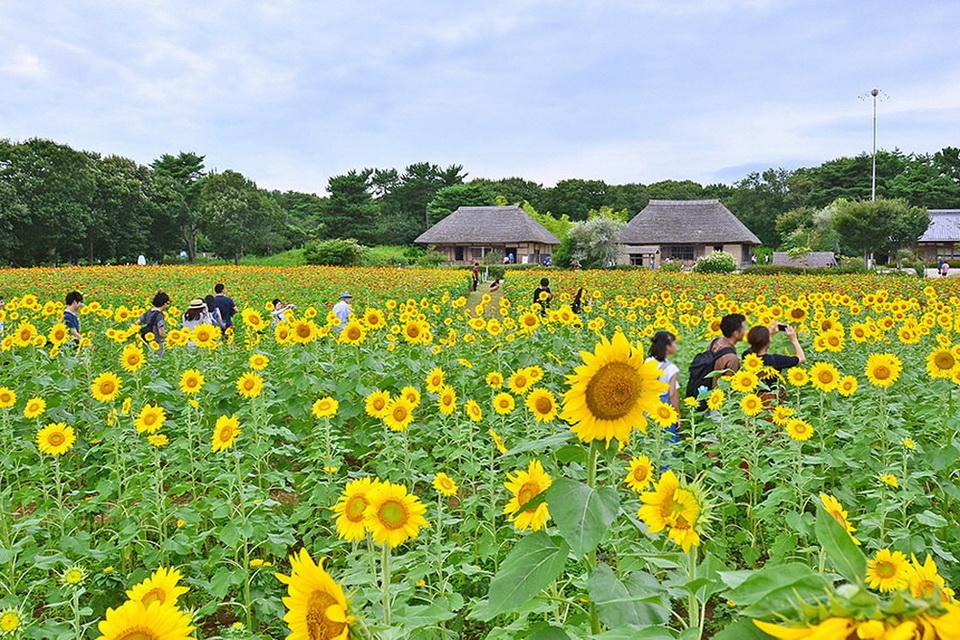 Khám phá những bông hoa tại Ibaraki tô điểm cho mùa hè Nhật Bản