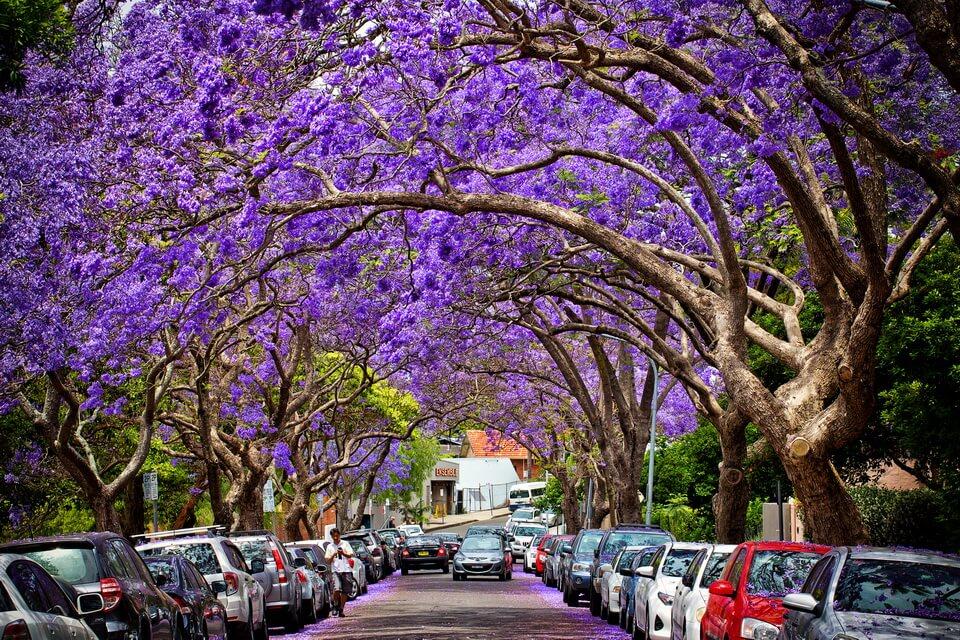 'Đi tìm' mùa xuân tại Nam bán cầu giữa ngày thu