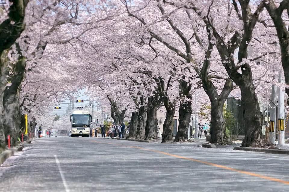 Đến Nhật ngắm hoa anh đào với giá tốt nhất thị trường tại Ngày Hội Fukushima
