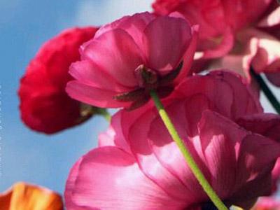 Nghìn sắc hoa mao lương trong vườn San Diego, Hoa Kỳ