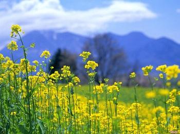 Mùa hoa cải nhuộm vàng sắc Xuân