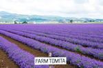 Furano lung linh mùa hoa oải hương nở