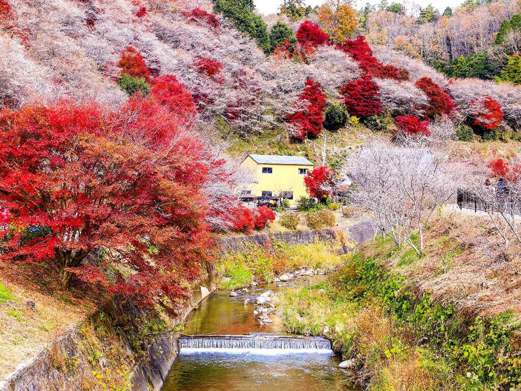 Đến Nhật Bản, ngắm hoa anh đào giữa trời thu