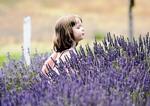 Valensole tím mùa Lavender