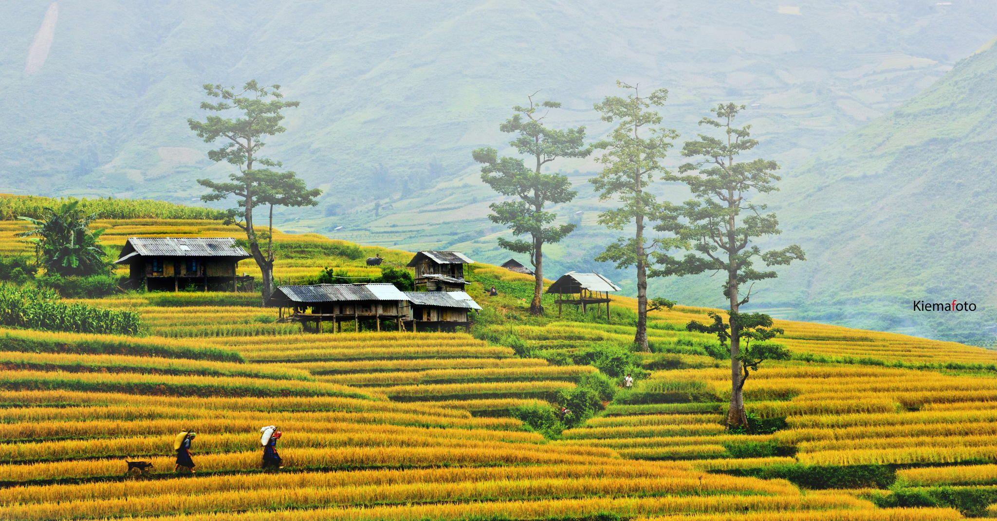 Moc Chau is so beautiful in the ripen rice season