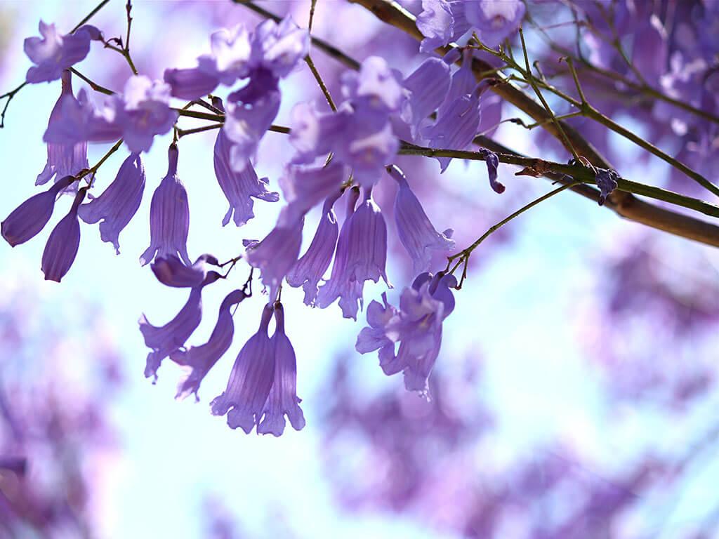 """""""Đi tìm"""" mùa xuân tại Nam bán cầu giữa ngày thu"""