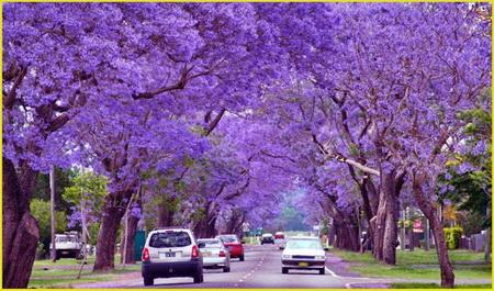 Ngắm phượng tím nở rộ khắp phố phường Nam Phi