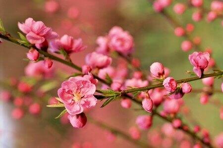 Rực rỡ mùa hoa xuân phương Bắc