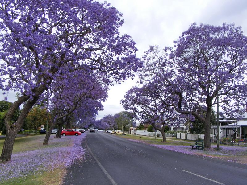 Úc châu - Tím biếc mùa hoa thương nhớ