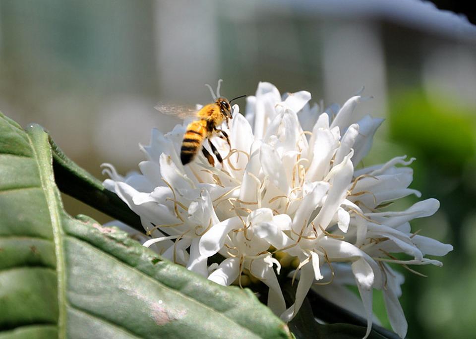 Tây Nguyên mùa xuân, mùa hoa cà phê nở trắng, mùa con ong đi lấy mật gọi mời du khách