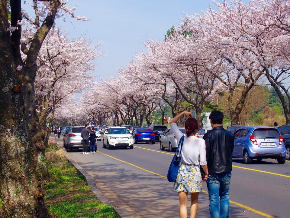 Ngắm hoa anh đào đẹp nhất ở Nhật - Hàn