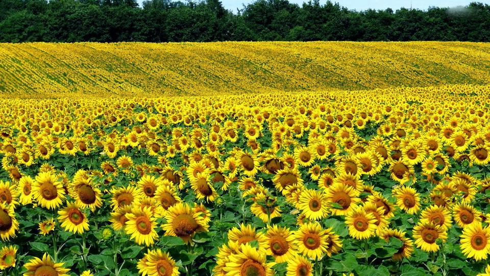 Mê đắm hoa vàng xứ Nghệ