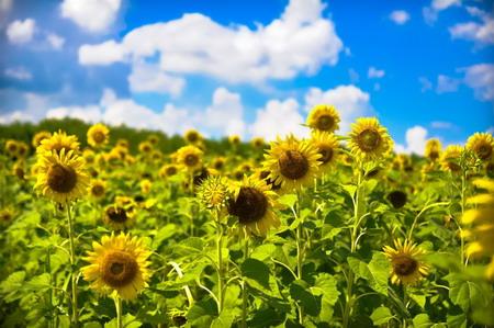 Nghệ an  - rực rỡ mùa 'hoa mặt trời'