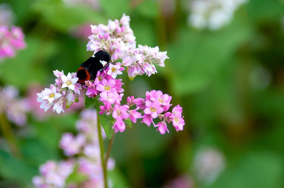 Đẹp ngỡ ngàng mùa hoa tam giác mạch