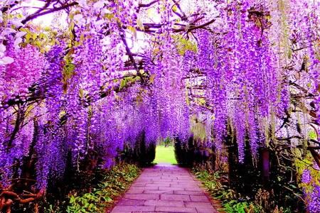 Lãng mạn sắc hoa Chi Anh - Tử Đằng Nhật Bản