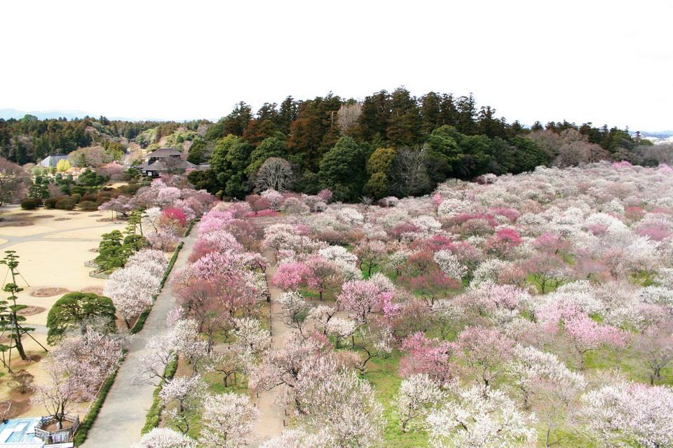 Say đắm vườn mơ Kairakuen