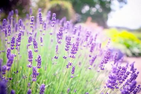 Những mùa hoa lavender tím biếc