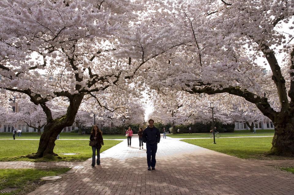 Ngắm hoa anh đào trên đất Mỹ có gì lạ?