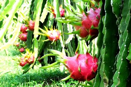 Miền Tây mùa trái ngọt